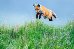 Red fox pup leaping into the air. Photo by John E. Marriott.