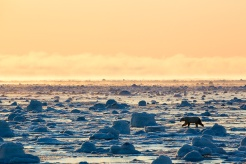Polar bear, Nunavut, Canada. Photo by John E. Marriott.