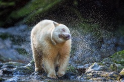 White kermode spirit bear in the Great Bear Rainforest, BC, Canada. Photo by John E. Marriott